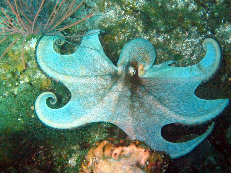 Science Adventures: Caribbean Reef Octopus - Lessons - Tes Teach